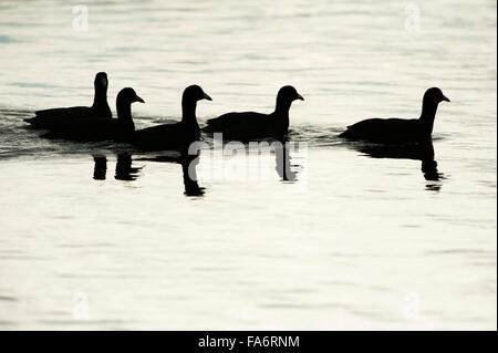 American coots in silhouette - Stock Photo