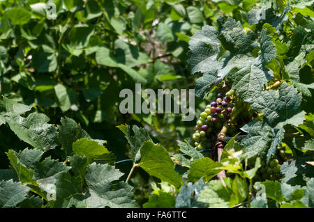 Vitis vinifera. Grapes on the vine in Ticino, Switzerland. - Stock Photo