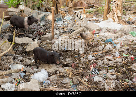 muddy pig eating in a pile of garbage, Bali, Nusa penida, Indonesia - Stock Photo