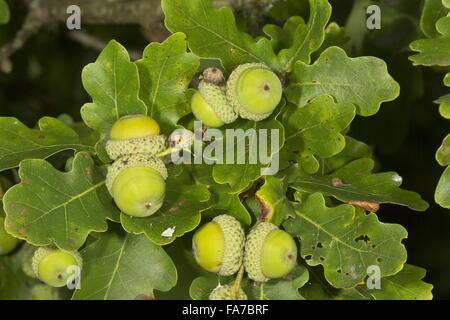 Common oak, Quercus robur, with acorns ripening. Dorset. English oak, pedunculate oak, French oak - Stock Photo
