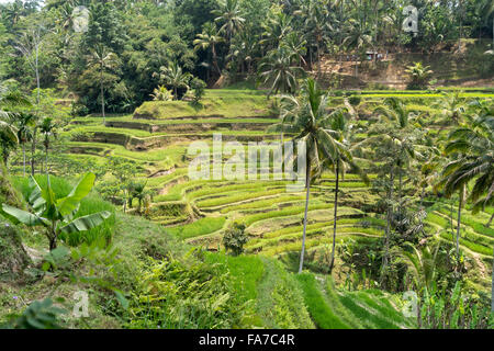Tegalalang Rice Terraces near Ubud, Bali, Indonesia - Stock Photo