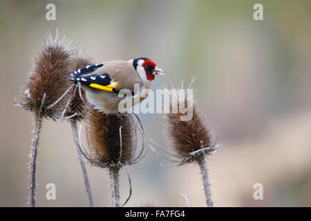 Goldfinch (Carduelis carduelis) at a silver thistle - Stock Photo