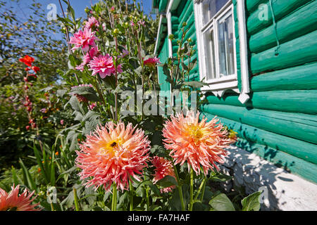 Dahlias grow in the garden. Kaluga region, Russia. - Stock Photo