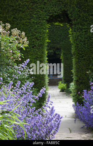 Nepeta (Catmint) in The Old Garden at Hidcote, Gloucestershire, in June. View through yew, Taxus baccata, hedge - Stock Photo