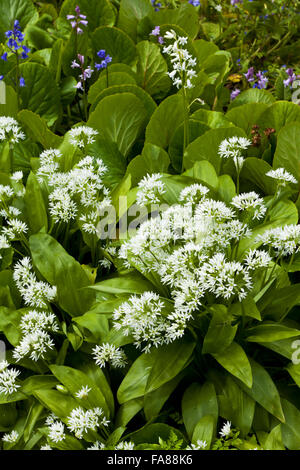 Ramsons, wild garlic, in the garden in May at Dunster Castle, Somerset. - Stock Photo