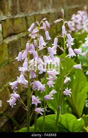 Pink bluebells in the Keep Garden in May at Dunster Castle, Somerset. - Stock Photo