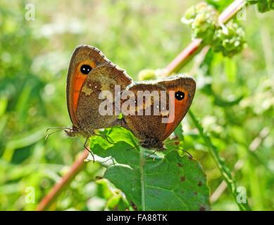 Meadow Brown (Maniola jurtina) butterflies mating - Stock Photo