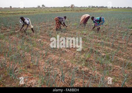 Onion farmers work the fields in Sourou Province, Boucle de Mouhoun Region, Burkina Faso, Africa. - Stock Photo
