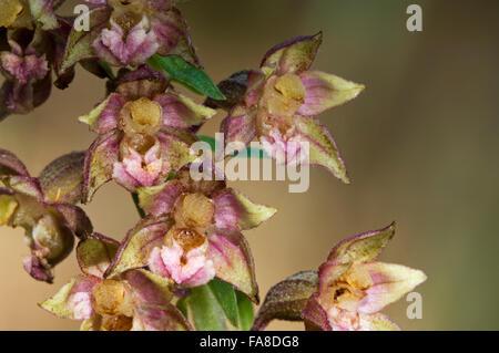 Broad-leaved helleborine (Epipactis helleborine / Serapias helleborine L.) in flower - Stock Photo