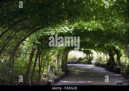 Laburnam arch in July at Bodnant Garden, Conwy. - Stock Photo
