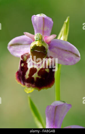 Late Spider Orchid (Ophrys holoserica) in flower - Stock Photo