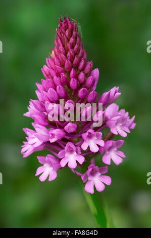 Pyramidal orchid (Anacamptis pyramidalis) in flower - Stock Photo