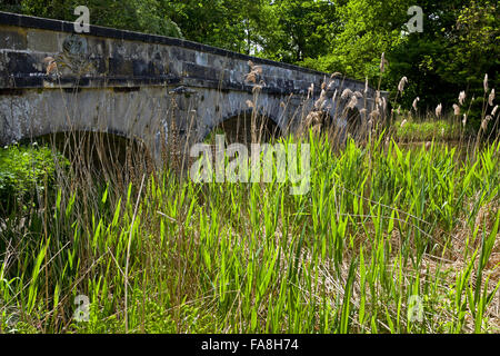 Reeds growing in front of the bridge over the Serpentine Lake at Sudbury Hall, Derbyshire. - Stock Photo