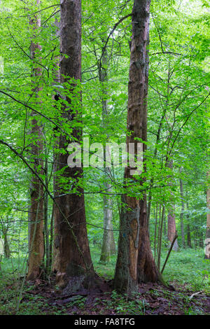 Barkless spruces among deciduous trees in old summertime deciduous stand of Bialowieza Forest,Bialowieza Forest,Poland,Europe - Stock Photo