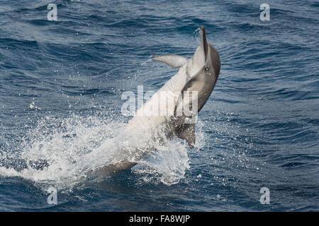 Hawaiian/Grays Spinner Dolphin, Stenella longirostris, spinning, Maldives, Indian Ocean. - Stock Photo