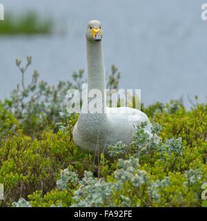 Whooper swan (Cygnus cygnus), standing in Arctic willow (Salix arctica), Southern Region, Iceland - Stock Photo