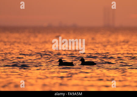 Two European Coots, Fulica atra on the sea in the morning light - Stock Photo