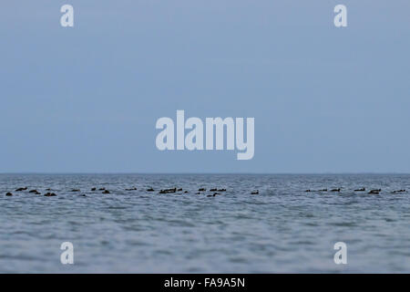 Flock of European Coots, Fulica atra on the sea - Stock Photo