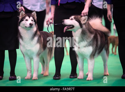 Crufts dog show at the NEC, Birmingham - Siberian Husky dogs showing in the Breeders Cup section UK 2015 - Stock Photo