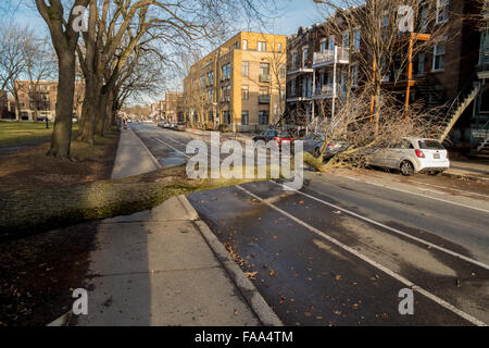Montreal, Canada. 24th December, 2015. A tree falls across a street on a car as a result of strong winds on Laurier - Stock Photo
