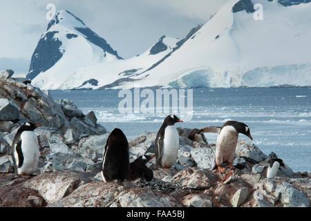 Gentoo penguin colony with chicks Pygoscelis papua Pleneau Island, Antarctic Peninsula. - Stock Photo