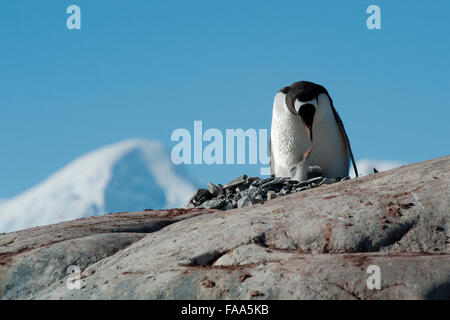 Gentoo penguin family, Pygoscelis papua. Pleneau Island, Antarctic Peninsula. - Stock Photo