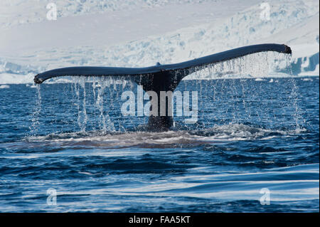 Humpback Whale (Megaptera novaeangliae), fluking in front of glacier and mountains. Antarctic Peninsula. - Stock Photo