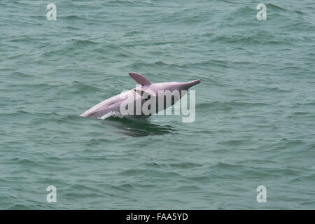 Female Indo-Pacific Humpback Dolphin (Sousa chinensis), breaching. Hong Kong, Pearl River Delta. - Stock Photo
