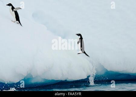 Adélie, Pygoscelis adeliae penguins, jumping on ceberg, Yalour Islands, Antarctic Peninsula. - Stock Photo