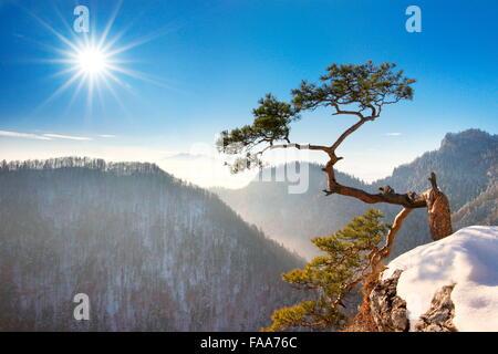 Alone single Pine Tree at Sokolica cliff, Pieniny National Park, Poland - Stock Photo