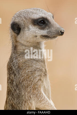 Meerkat close-up - Stock Photo