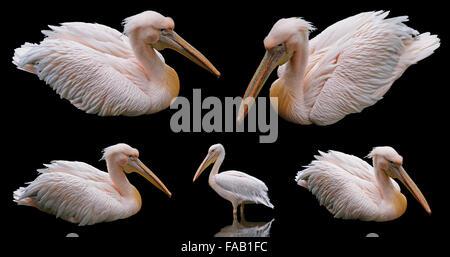 White pelican floating isolated on black background - Stock Photo