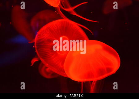 Jellyfish with tendrils swimming in aquarium with red coloring - Stock Photo
