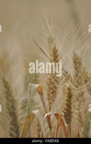 Wheat ear ready to be harvested - Stock Photo