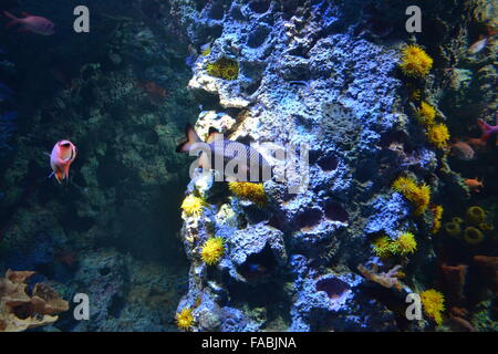 Blue and pink fish in aquarium with corals - Stock Photo