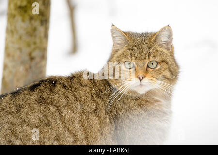 Wild cat (Felis sylvestris), portrait in the snow, looking at camera , controlled situation, Bavarian Forest, Germany - Stock Photo