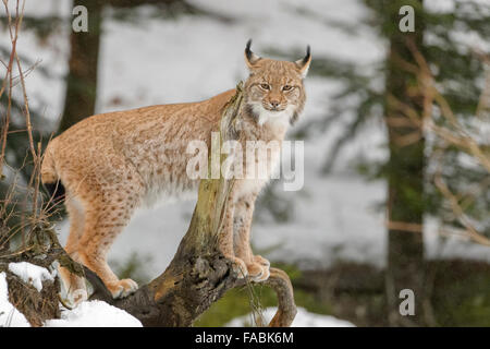 Eurasian Lynx (Lynx lynx) standing on a wood log in snow, looking at camera, Bavarian forest, Germany. - Stock Photo