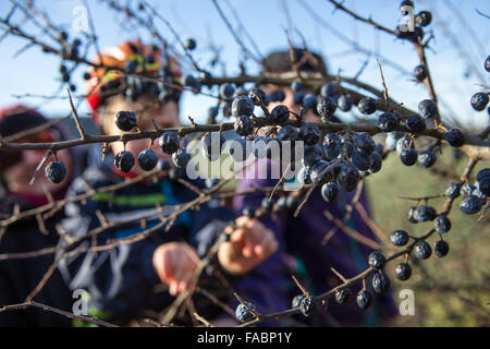 Holzhausen, Germany. 26th Dec, 2015. Children pick fresh berries from a shrubb during the unusual warm winter season - Stock Photo