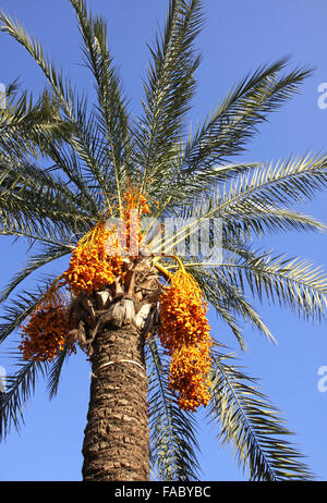 Close-up date palm tree with dates - Stock Photo