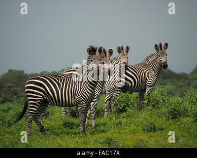 4 plains or Burchell's zebra (Equus Burchelli) in good condition looking towards the camera with fertile vegetation - Stock Photo