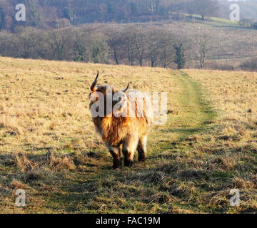Longhorn Highland Cow in a meadow in the Chiltern Hills - Stock Photo