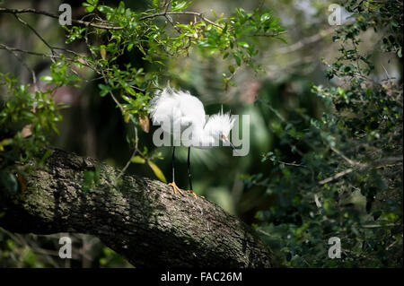 Side view of a wild Snowy Egret with breeding plumage standing on a Live Oak tree branch, Alligator Farm, St. Augustine - Stock Photo