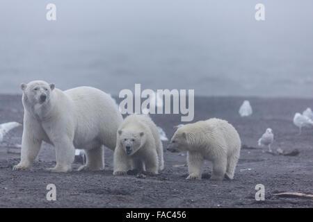 Polar bears (Ursus maritimus),  Arctic National Wildlife Refuge, Alaska. - Stock Photo