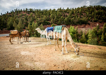 Camels encountered south of Marrakech, Morocco - Stock Photo