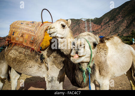 Friendly camels encountered south of Marrakech, Morocco - Stock Photo