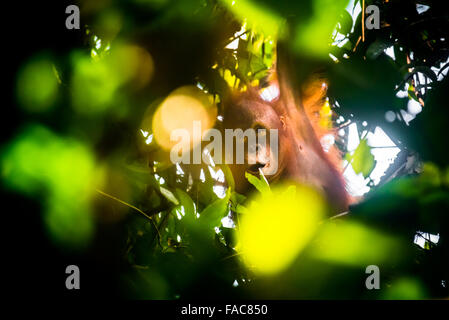 Wild juvenile orangutan hanging on tree branches in Kutai National Park, Indonesia. © Reynold Sumayku - Stock Photo