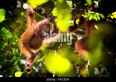 Wild juvenile bornean orangutan (Pongo pygmaeus morio) hanging on tree branch in natural habitat in Kutai National - Stock Photo