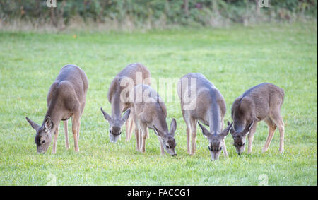 Black-tailed Deer, Odocoileus hemionus, herd - Stock Photo