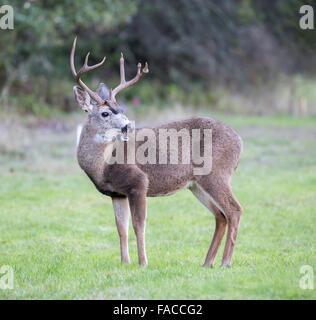 Black-tailed Deer Buck Looking Back in the Meadow