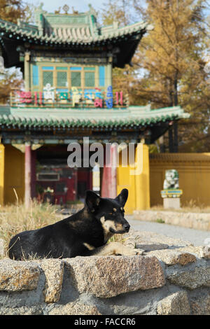 Mongolian dog near the temple in Ulan Bataar - Mongolia - Stock Photo
